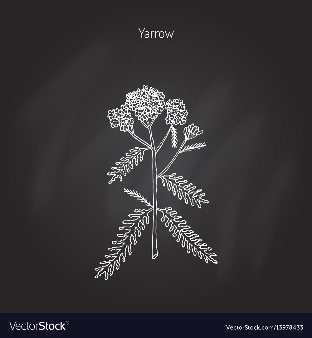 Achillea millefolium or yarrow medicinal plant vector image