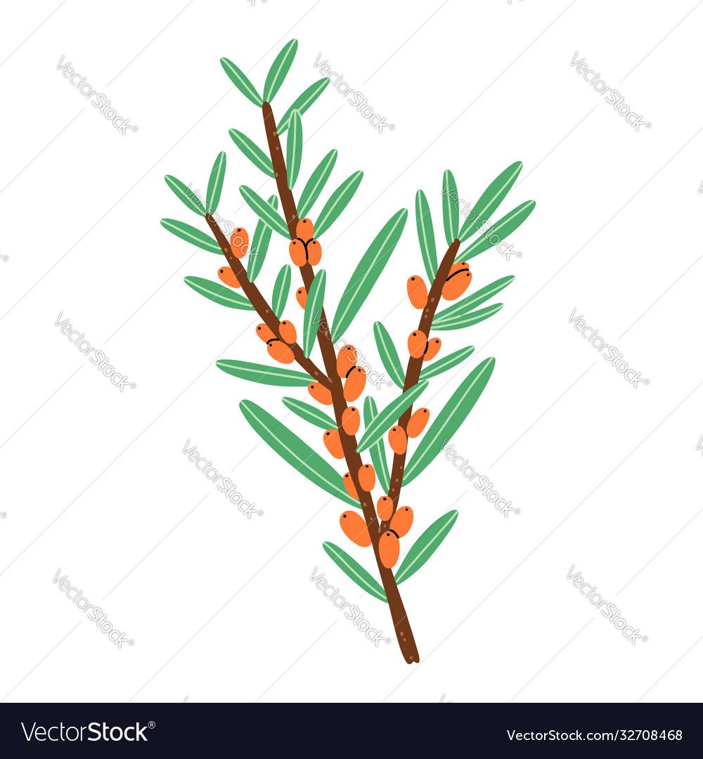 Little branch with sea buckthorn berries