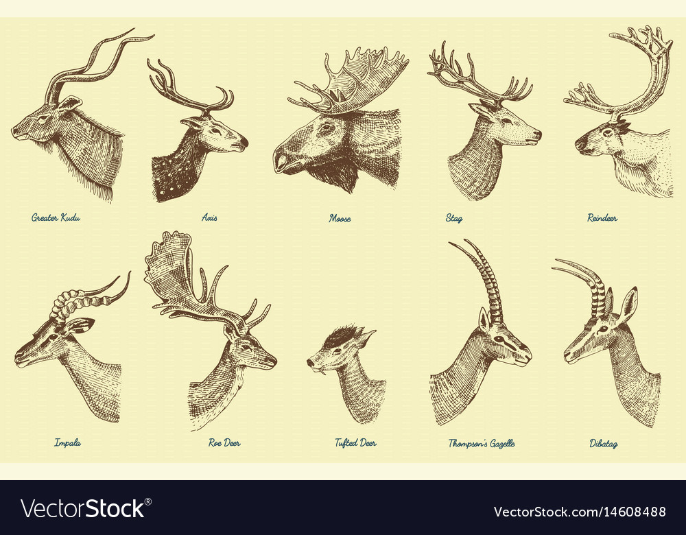 Big set of horn antlers animals moose or elk with