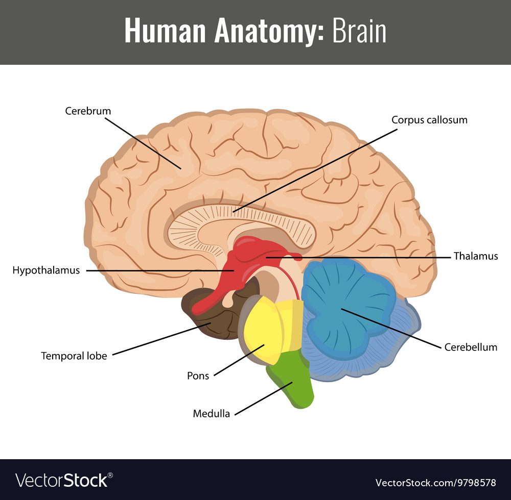 Human Brain Detailed Anatomy Medical Royalty Free Vector