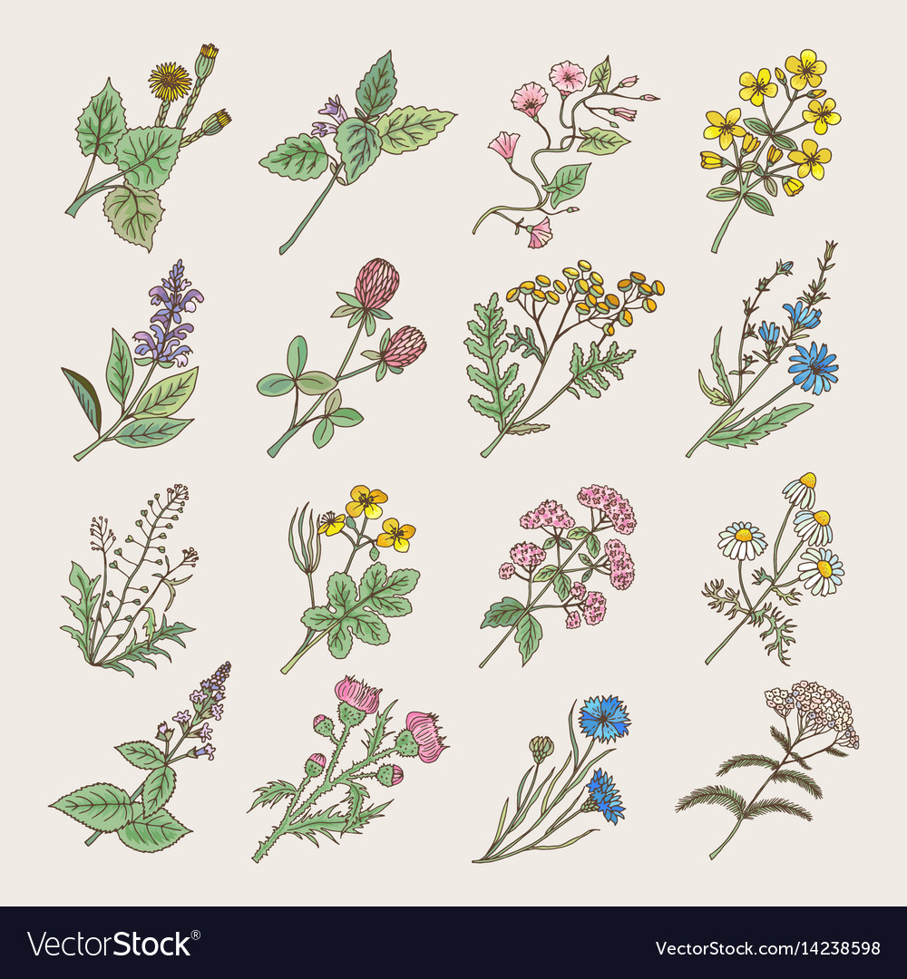 Botanical herbs and flowers hand drawing pictures
