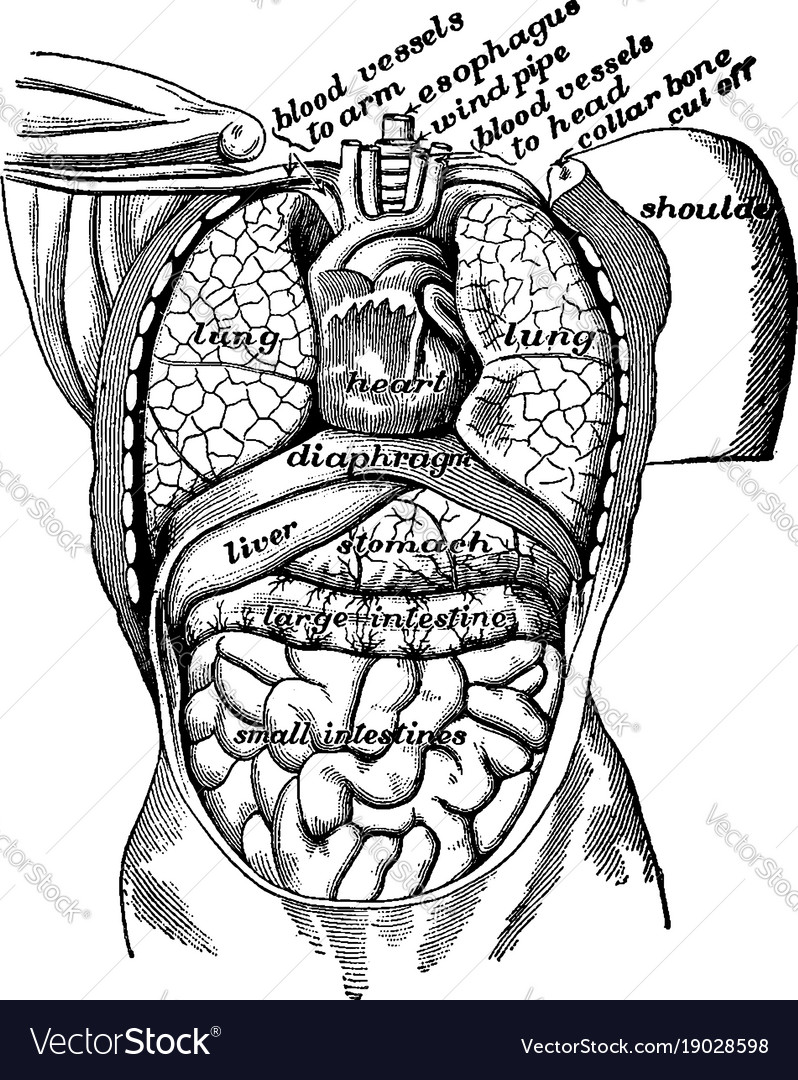 Organs Of The Body Cavity Vintage Vector Image