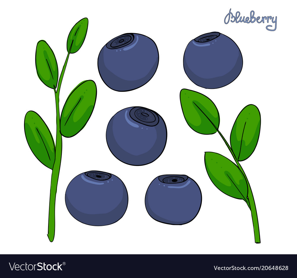 A set of blueberry elements sprigs bilberries