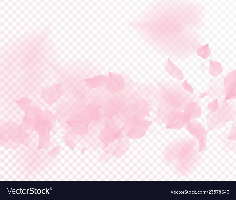 Pink sakura flower falling petals