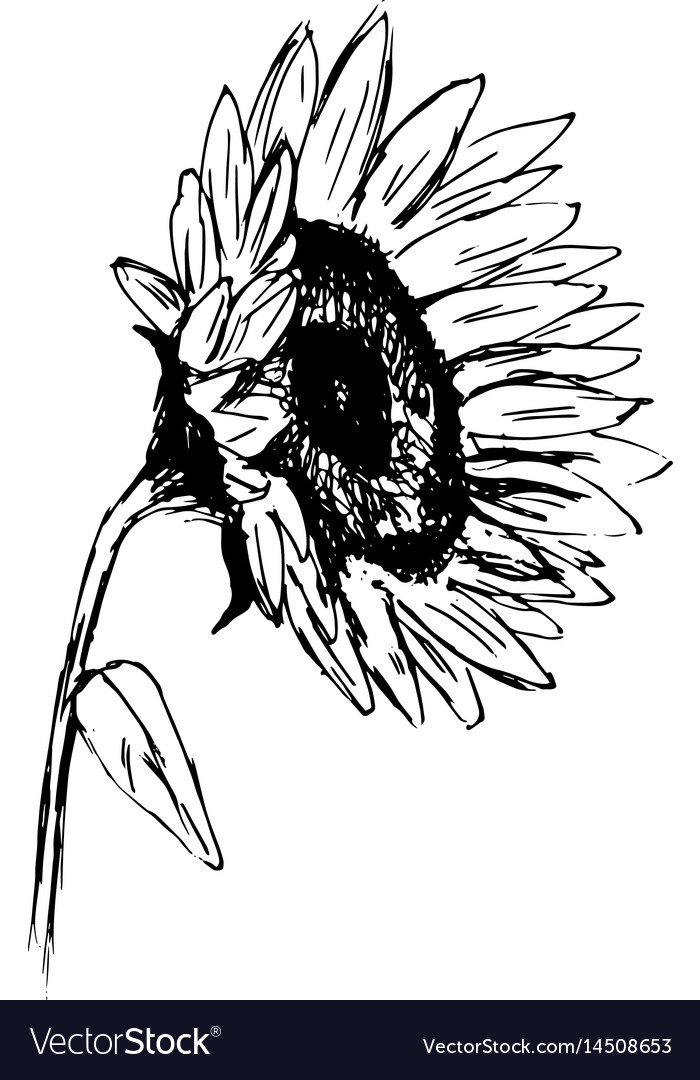 hand sketch sunflower sketch royalty free vector image