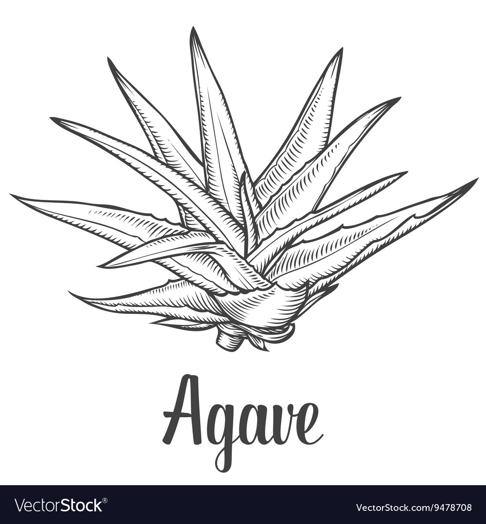Agave Plant Royalty Free Vector Image Vectorstock