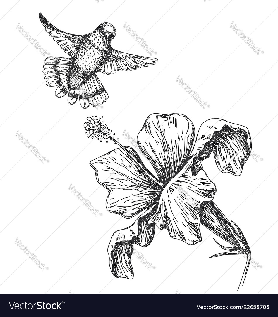 Humming bird and flower sketch