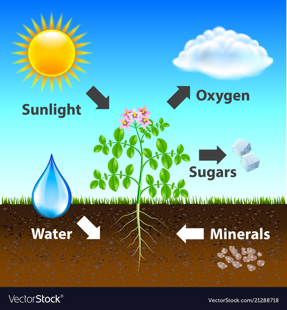 Photosynthesis Diagram Background Royalty Free Vector Image
