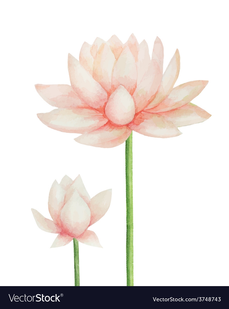 Watercolor Pink Lotus Flower Isolated Royalty Free Vector
