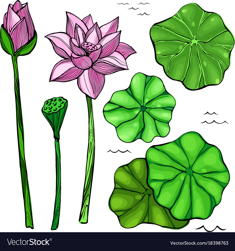 Flowers And Leaves Of The Lotus Royalty Free Vector Image