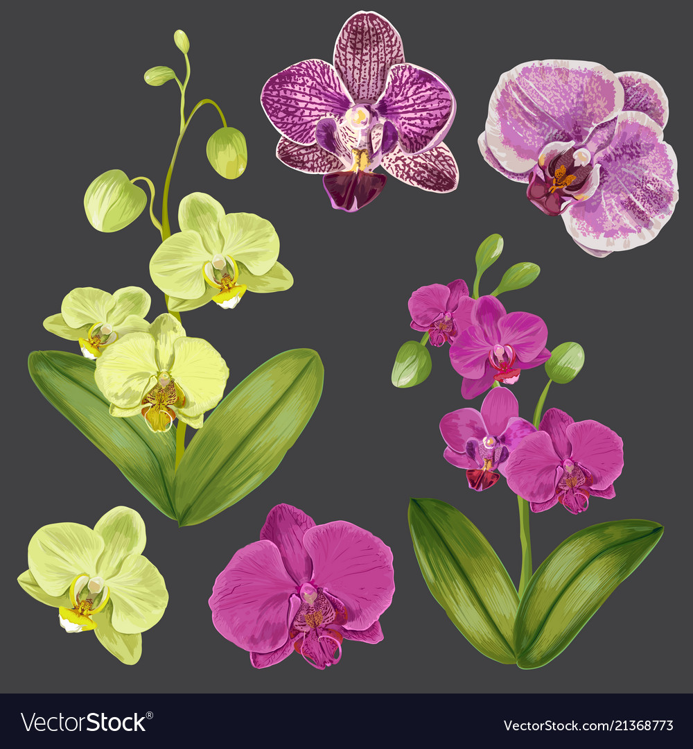 Exotic Orchid Flowers Set Tropical Floral Element Vector Image