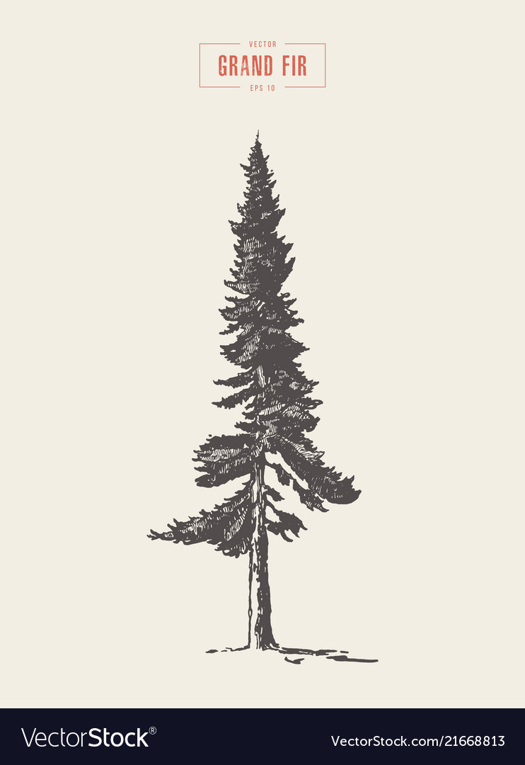High detail vintage grand fir tree drawn