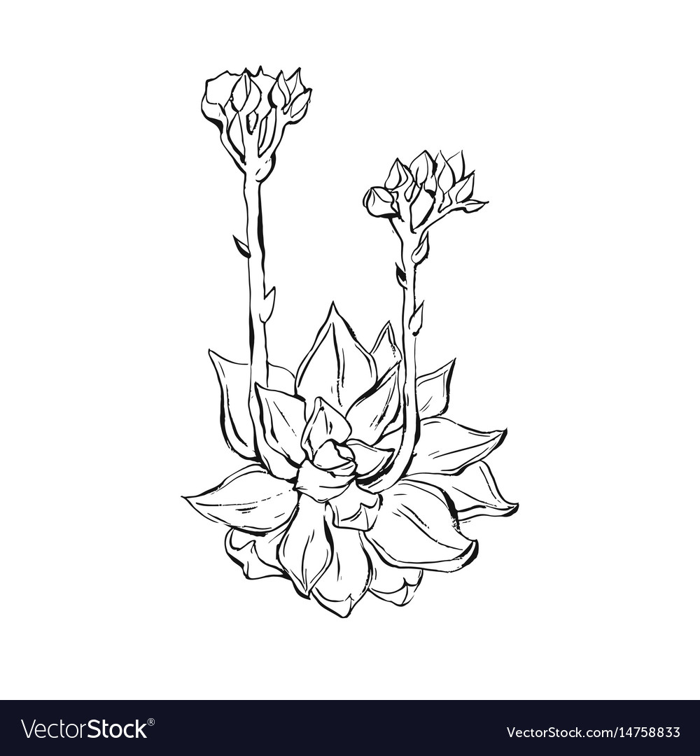 Hand Drawn Graphic Ink Sketch Succulent Royalty Free Vector