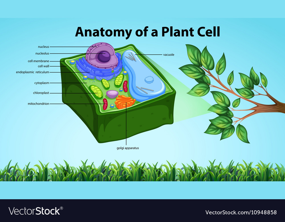 Anatomy of plant cell with names Royalty Free Vector Image