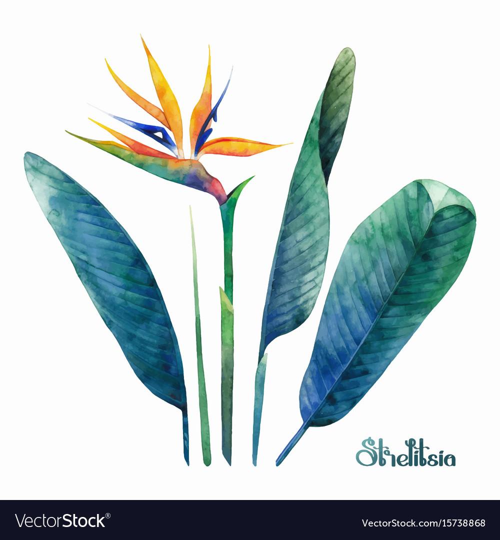 Watercolor strelitzia collection
