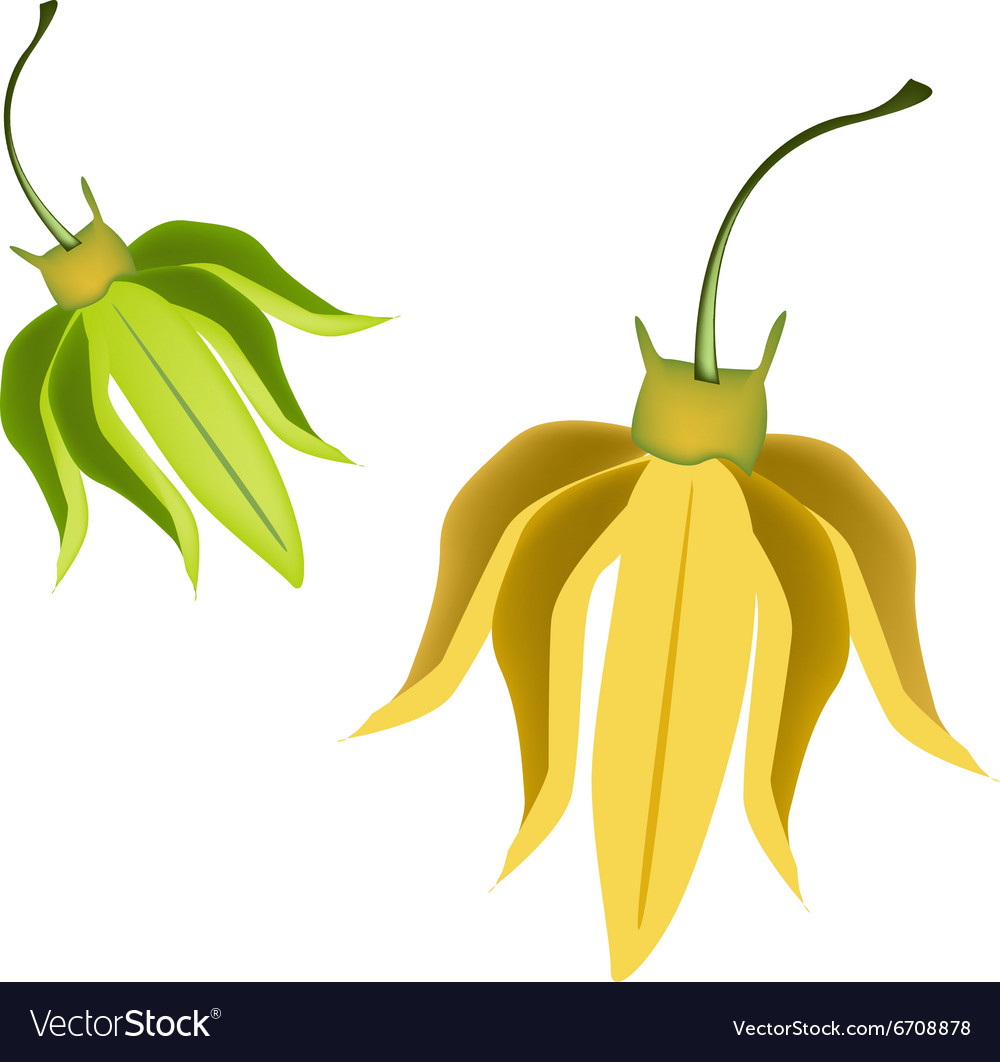 Yellow Ylang Ylang Flowers On White Background Vector Image