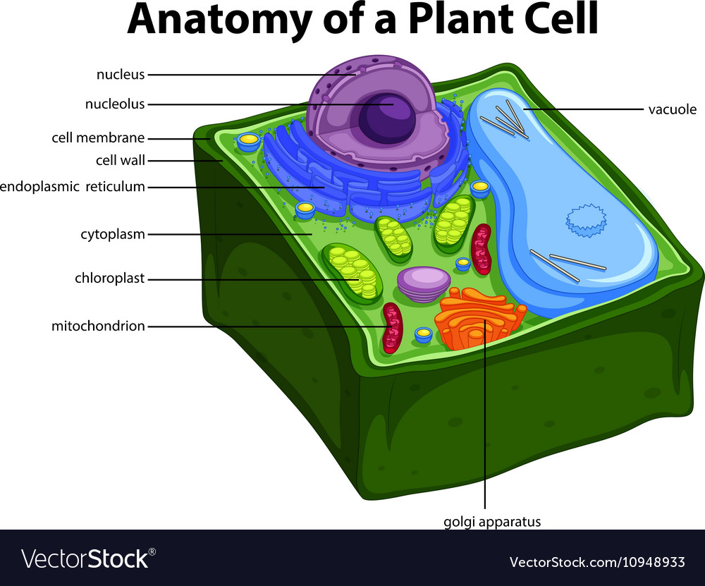 Diagram Showing Anatomy Of Plant Cell Royalty Free Vector