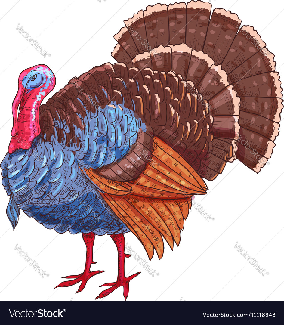 Thanksgiving isolated turkey color sketch