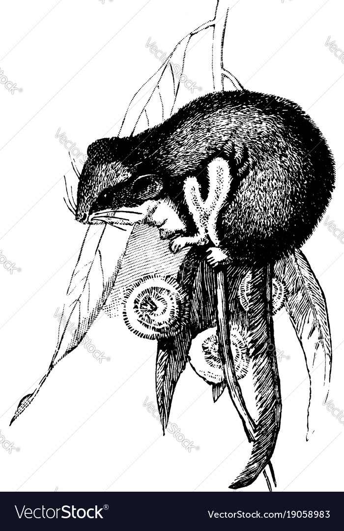 Opossum Mouse Vintage Royalty Free Vector Image