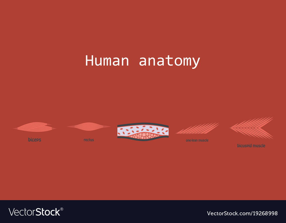 Types of muscle tissue of human body diagram vector image ccuart Image collections