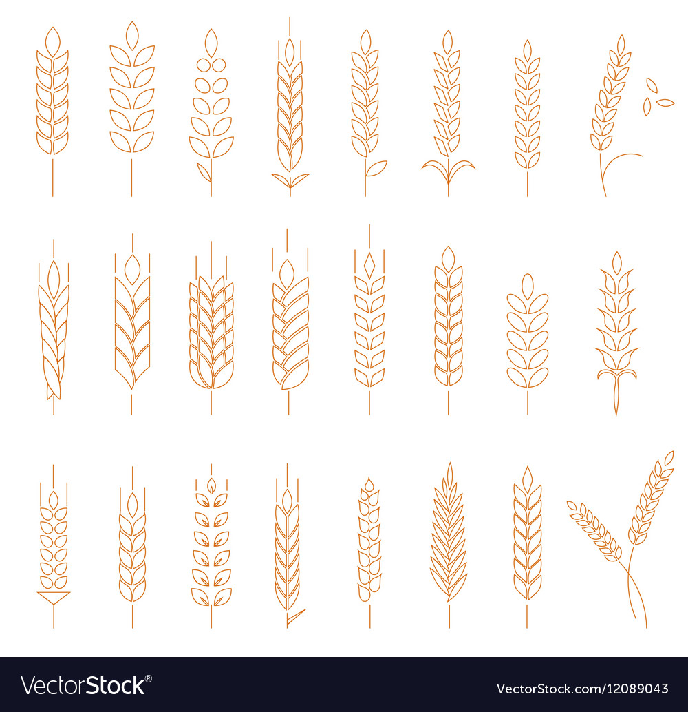 Wheat rye and barley vector image