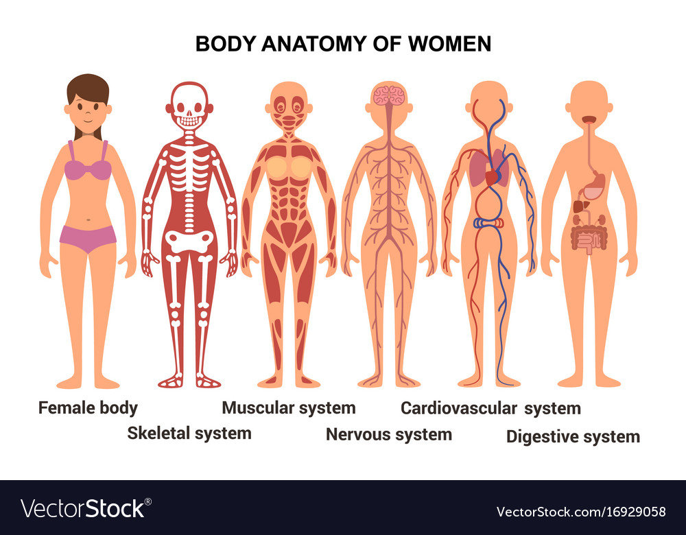 Anatomy Of The Female Body Anatomical Poster Vector Image