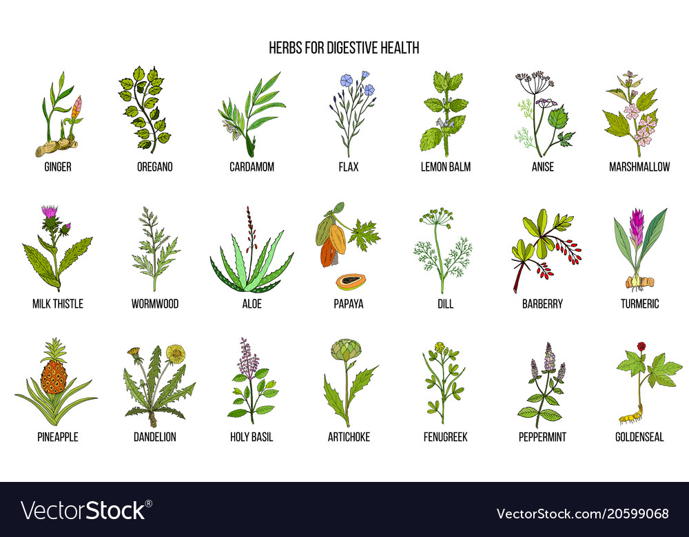 Herbs for digestive health vector image