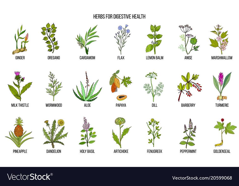 Herbs for digestive health