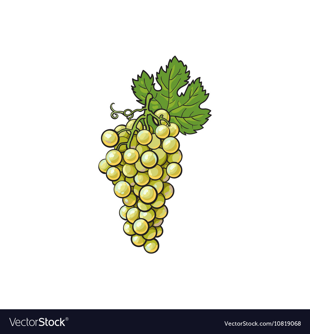 White Grapes Isolated On Background Royalty Free Vector