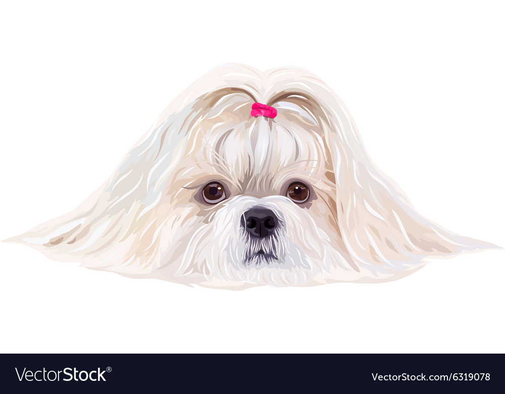 Shih Tzu Dog Portrait Royalty Free Vector Image