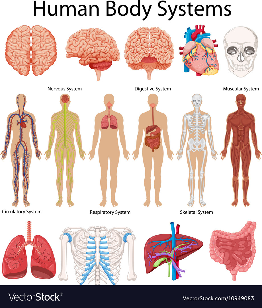 Diagram Showing Human Body Systems Royalty Free Vector Image