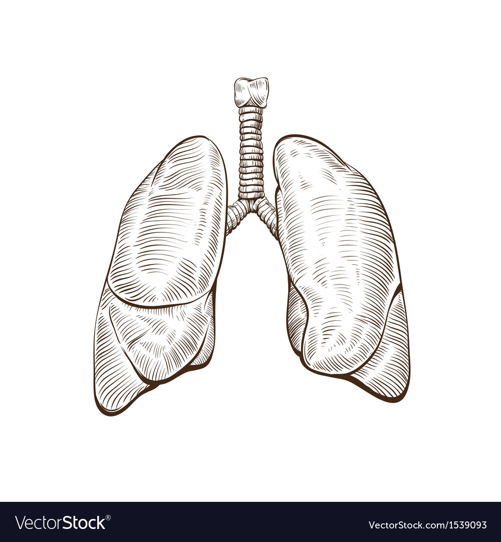 Hand Drawn Lungs Isolated On A White Backgrounds Vector Image