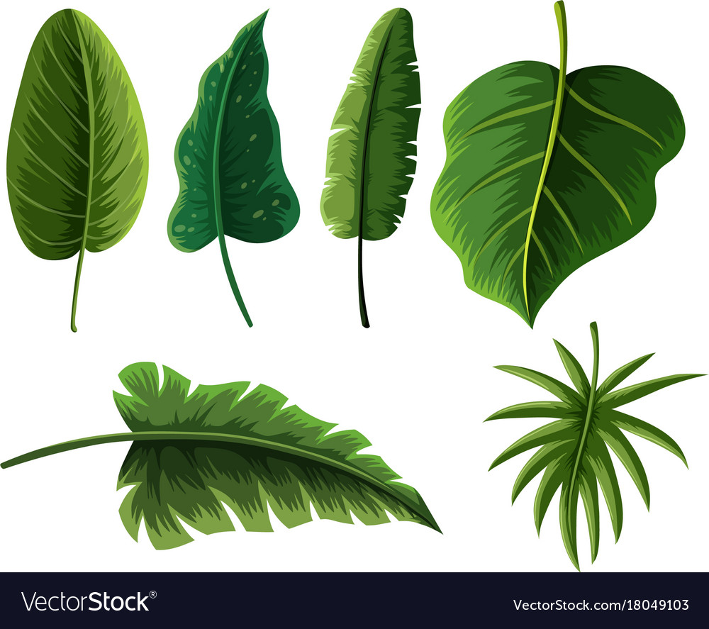 Different Types Tropical Leaves Royalty Free Vector Image Only a minority of plant and animal species in tropical rainforests and tropical deciduous forests have been described formally and named. vectorstock
