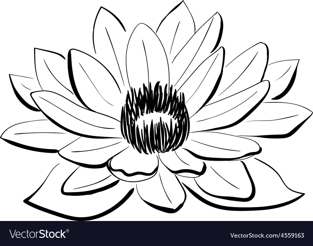 Black And White Pictures Of Lotus Flower Flowers Healthy