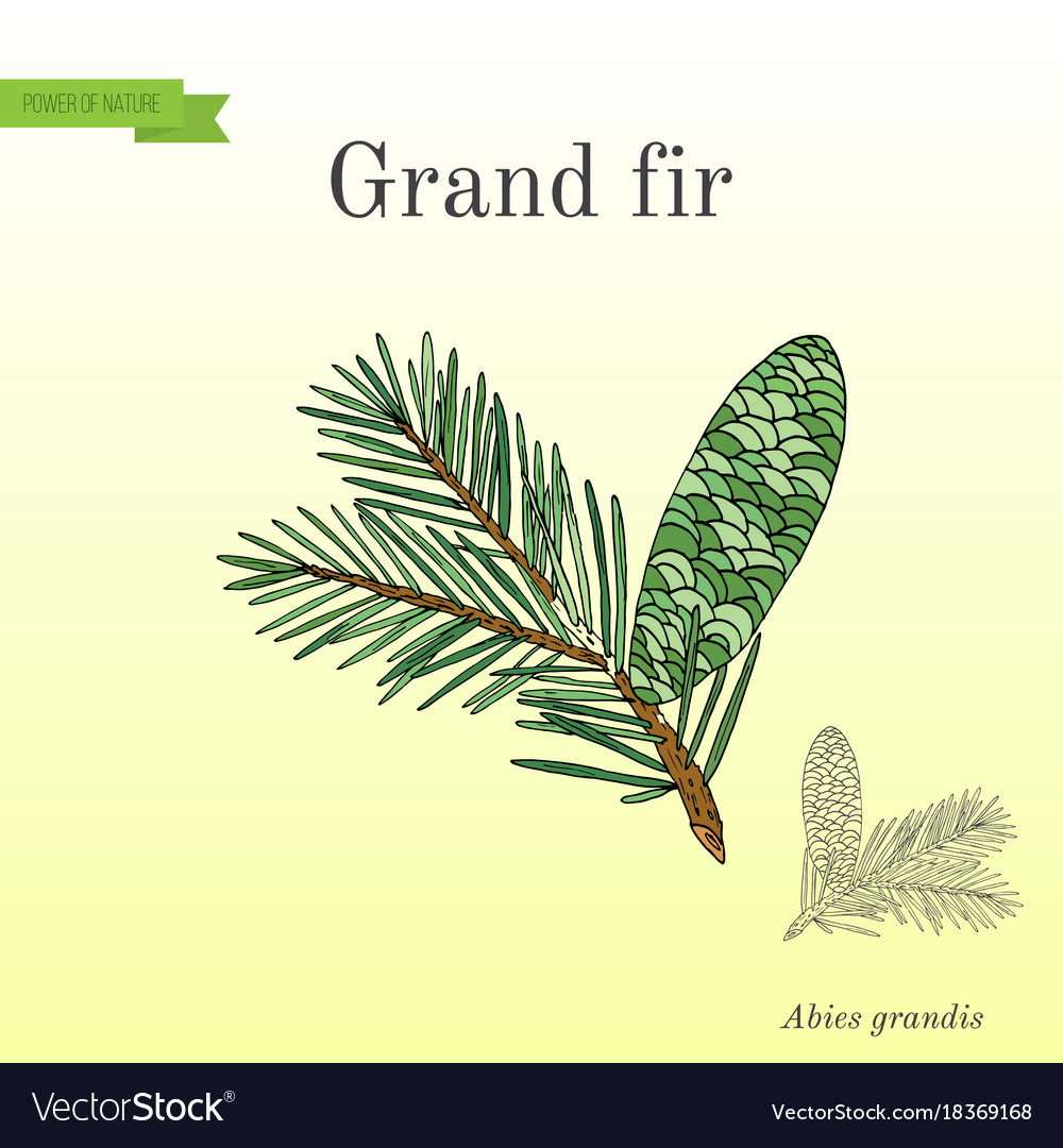 Great Silver Or Grand Fir Abies Grandis Royalty Free Vector