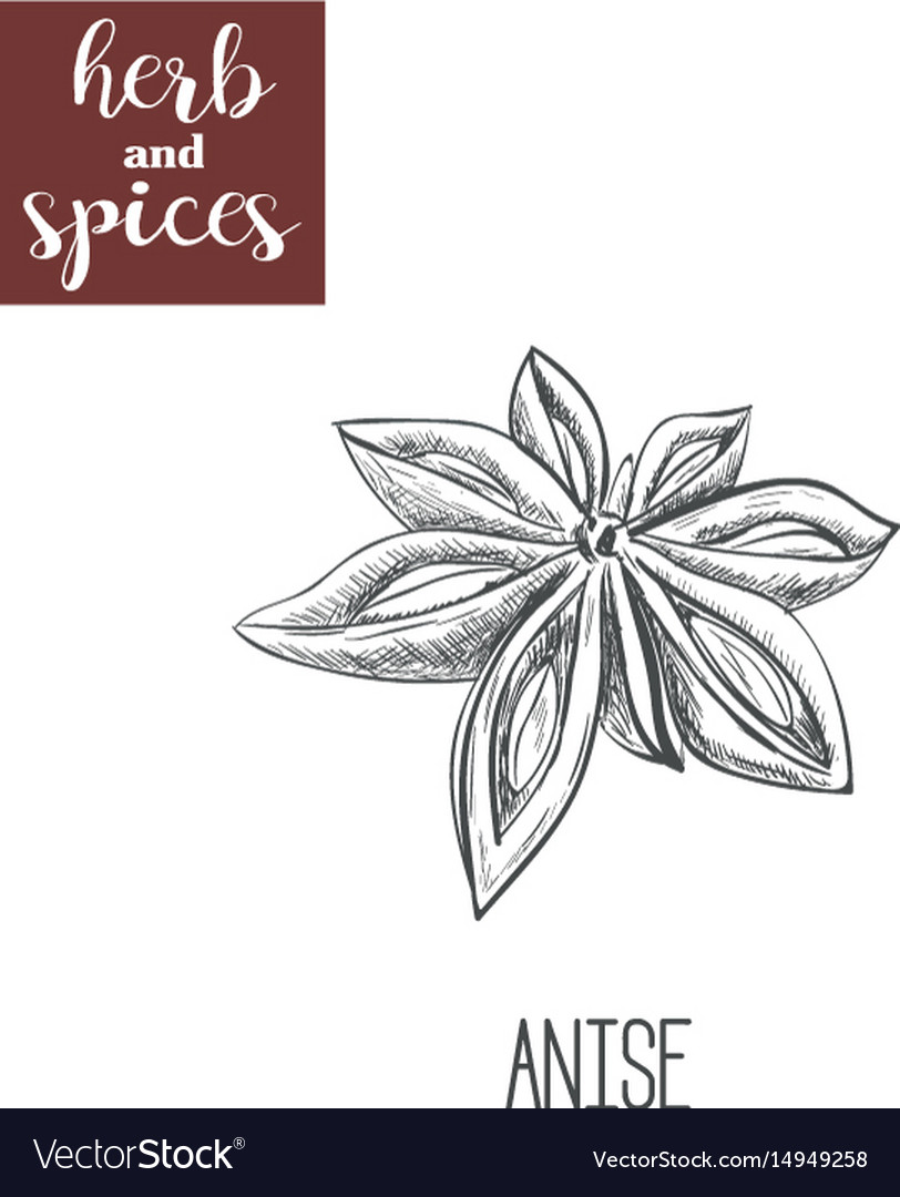 Anise hand drawing herbs and spices