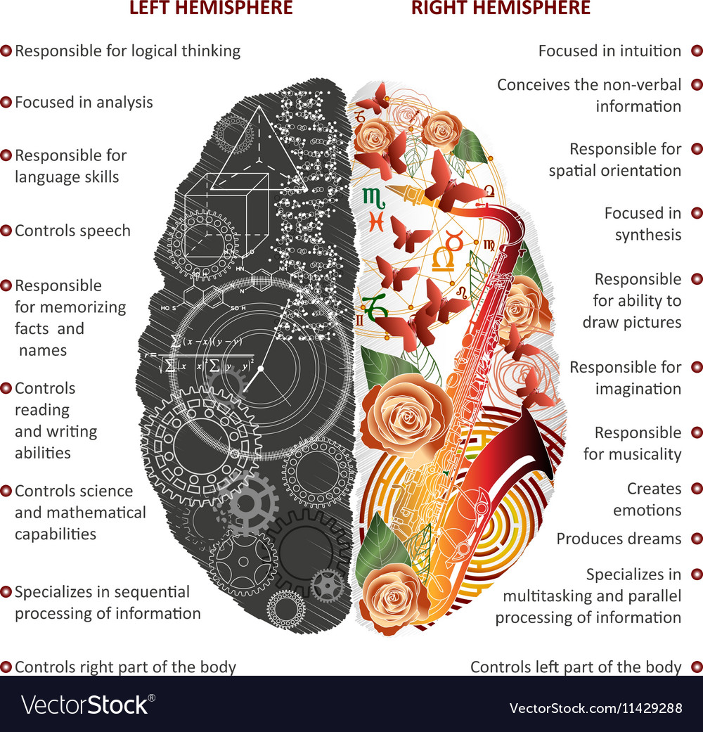 Brain left and right hemispheres infographics vector image