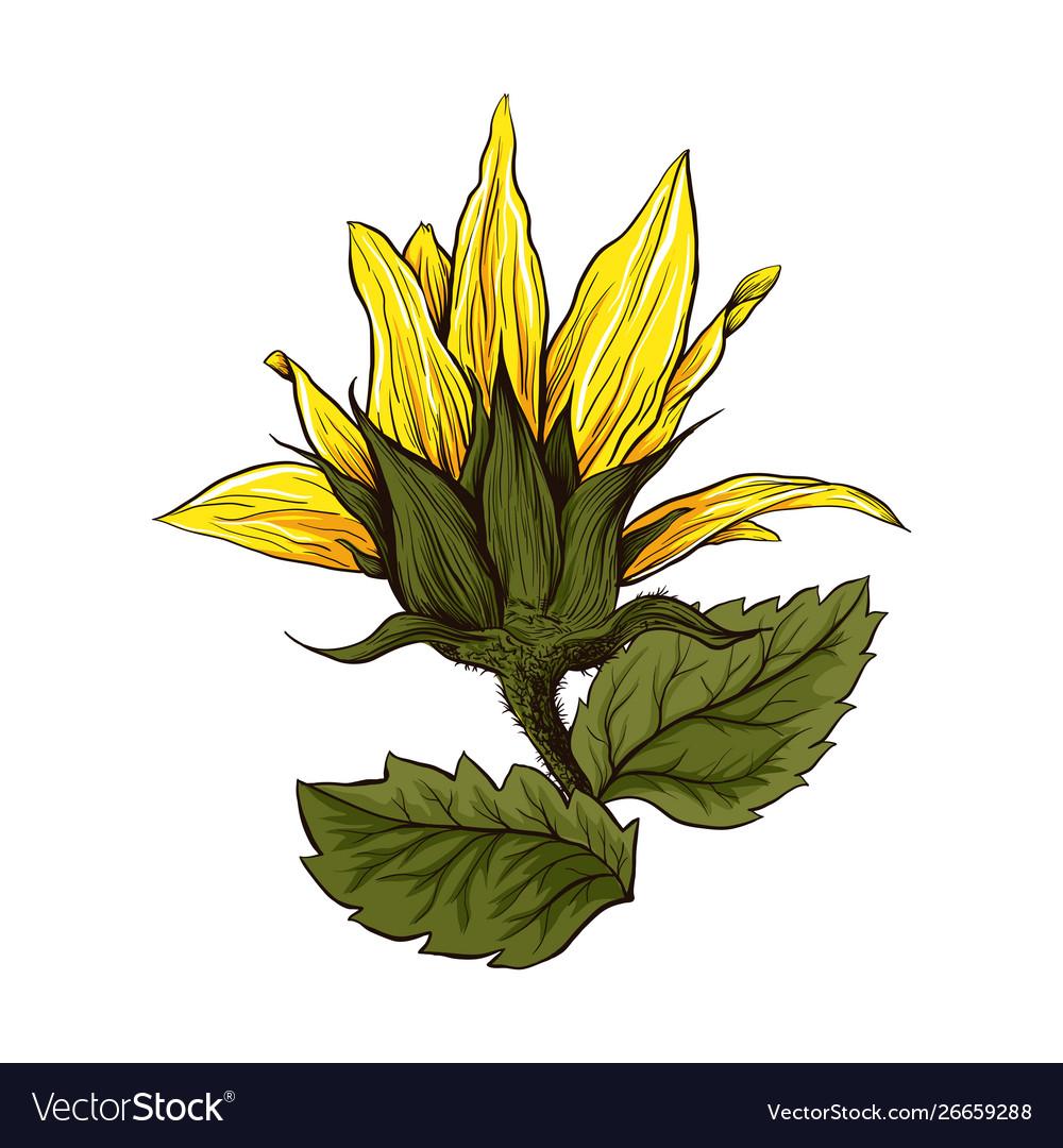 Sunflower realistic hand drawn