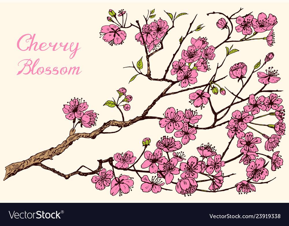 Japanese sakura blooming cherry magnolia or