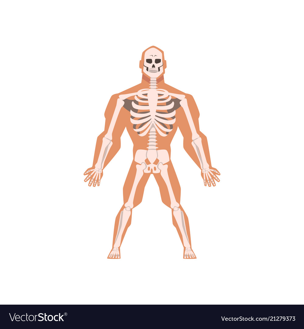 Human Biological Skeletal System Anatomy Of Human Vector Image