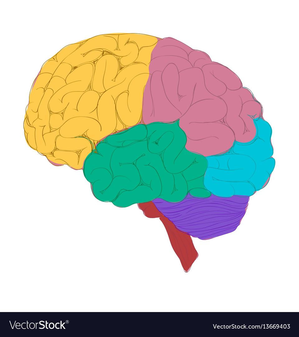 colorful brain royalty free vector image vectorstock