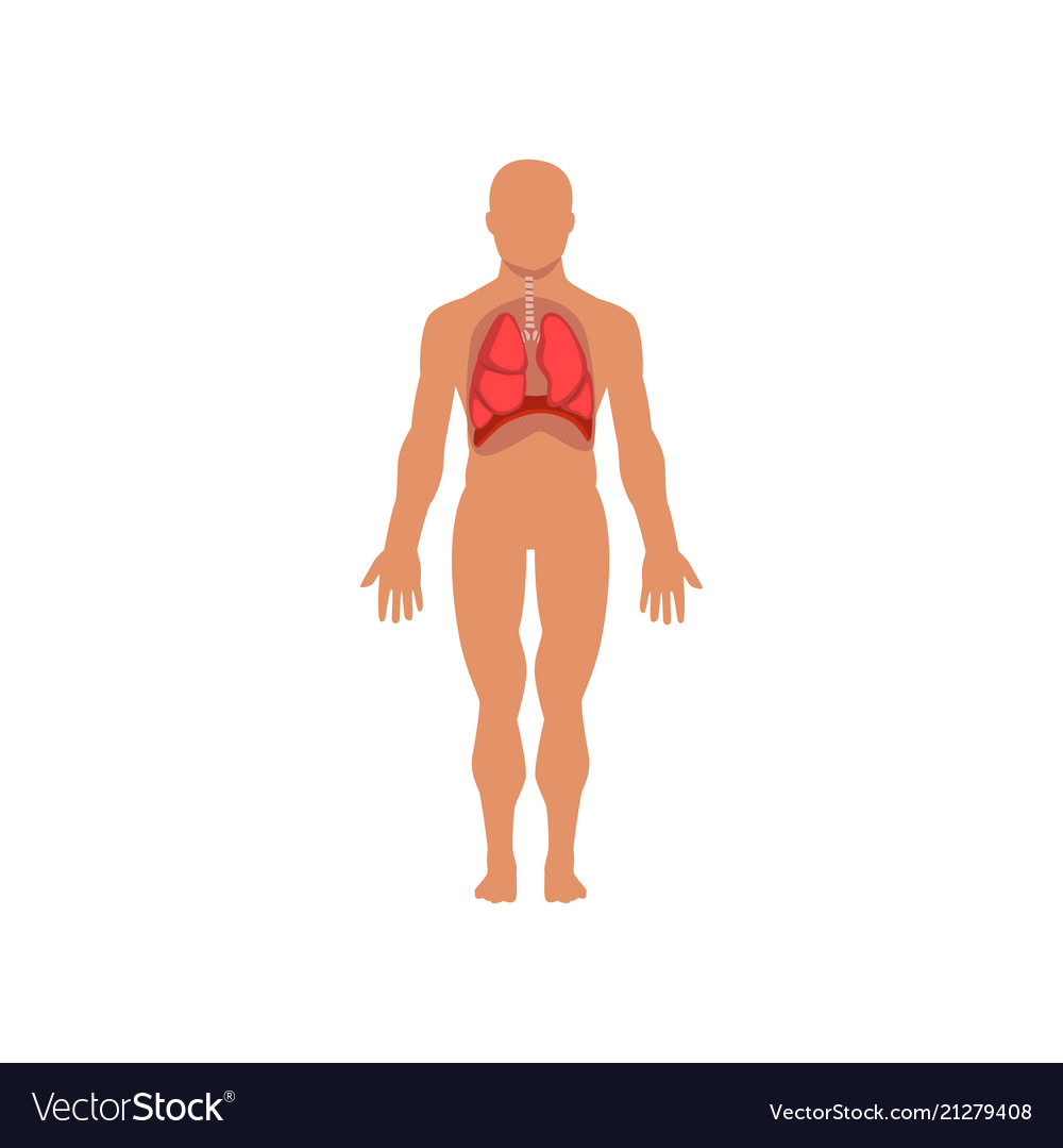Human Respiratory System Anatomy Of Human Body Vector Image