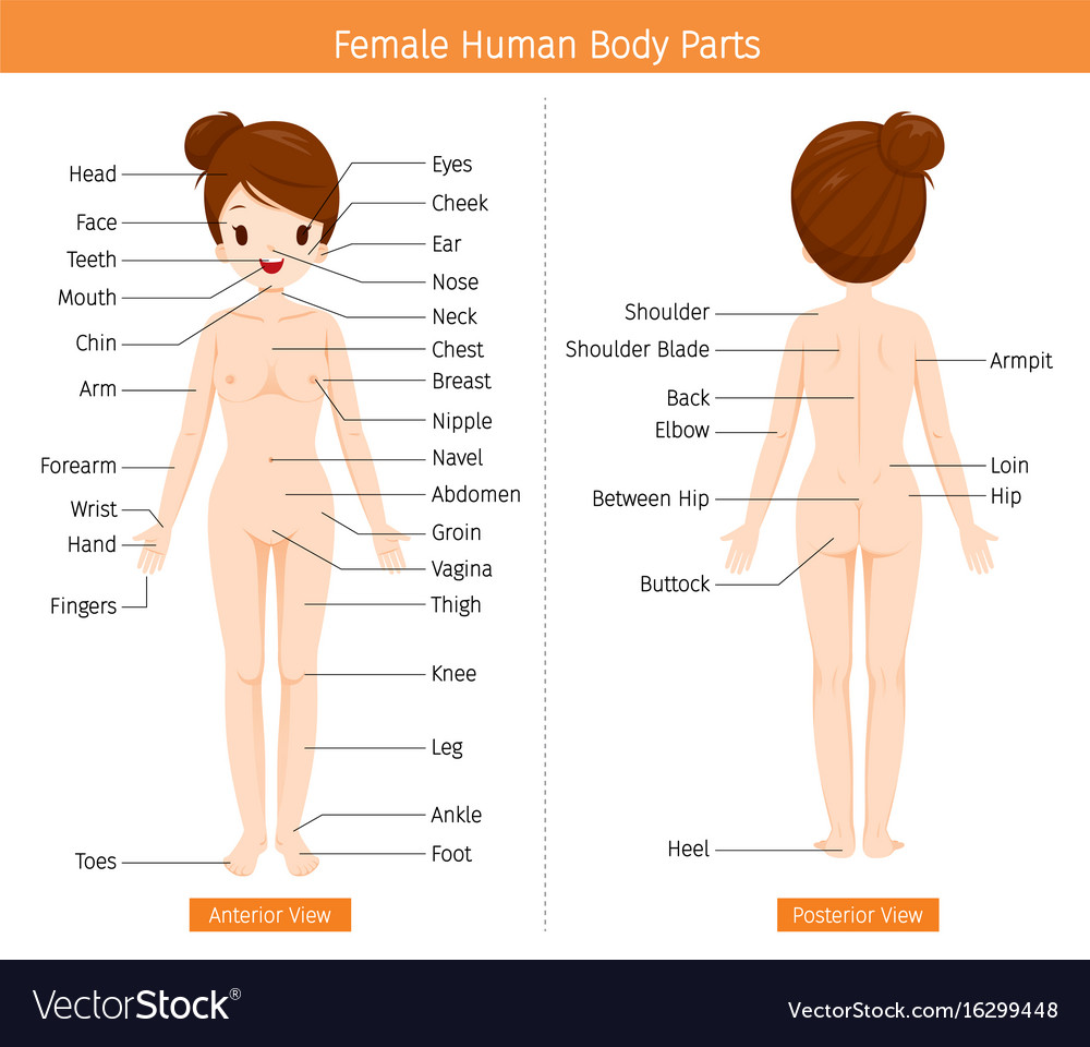 Female Human Anatomy External Organs Body Vector Image