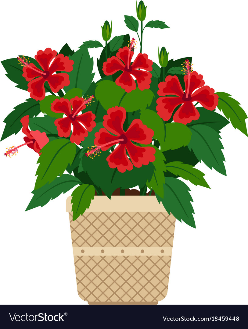 Hibiscus House Plant In Flower Pot Royalty Free Vector Image