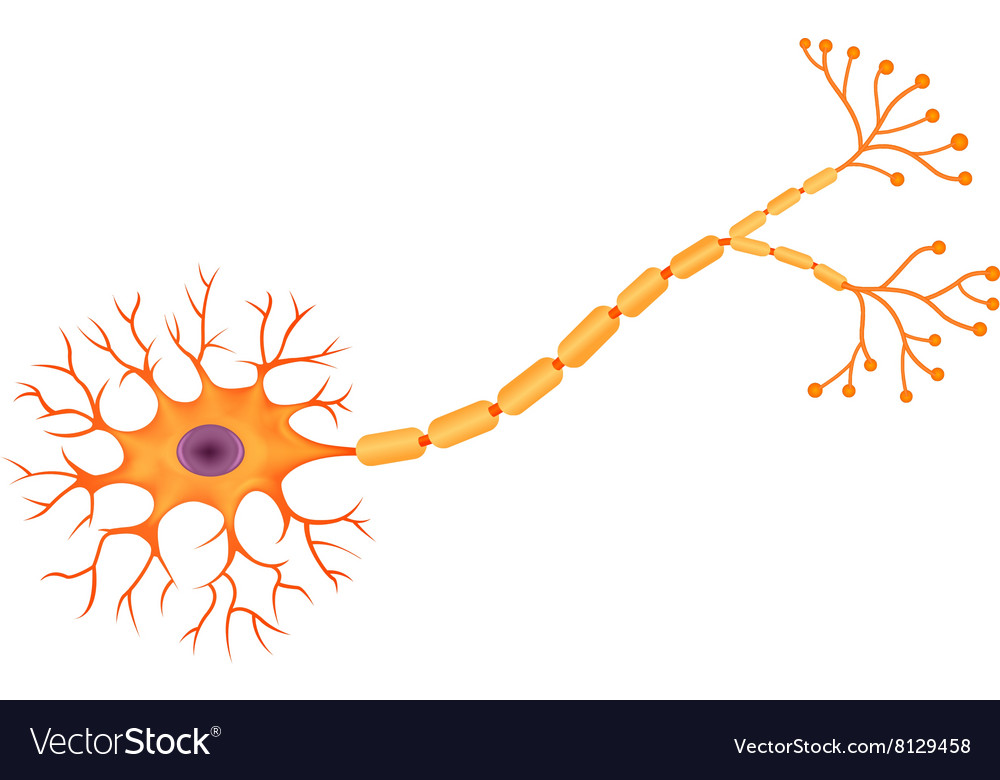 Cartoon of Human Neuron Anatomy Royalty Free Vector Image