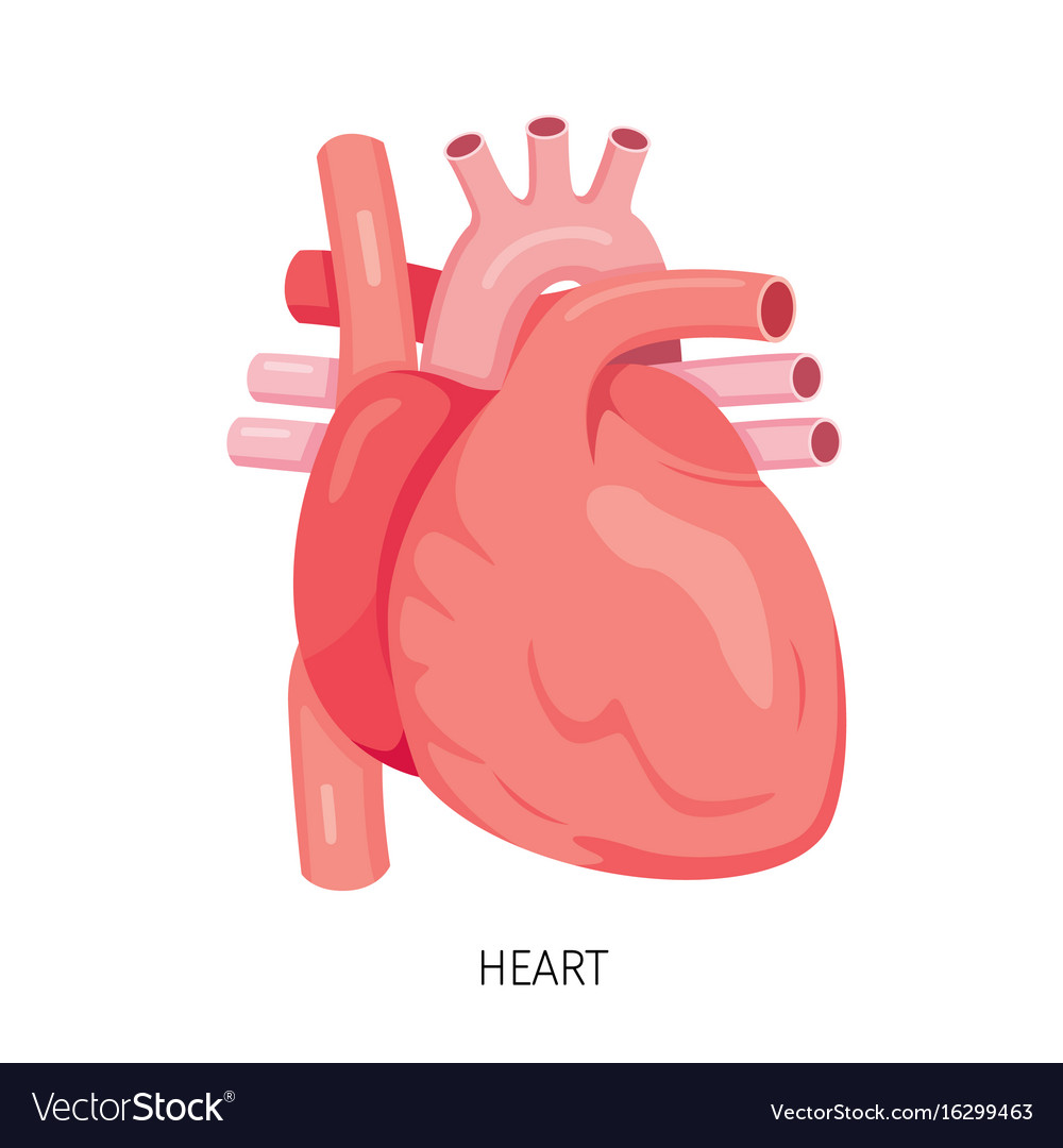 Heart Human Internal Organ Diagram Royalty Free Vector Image