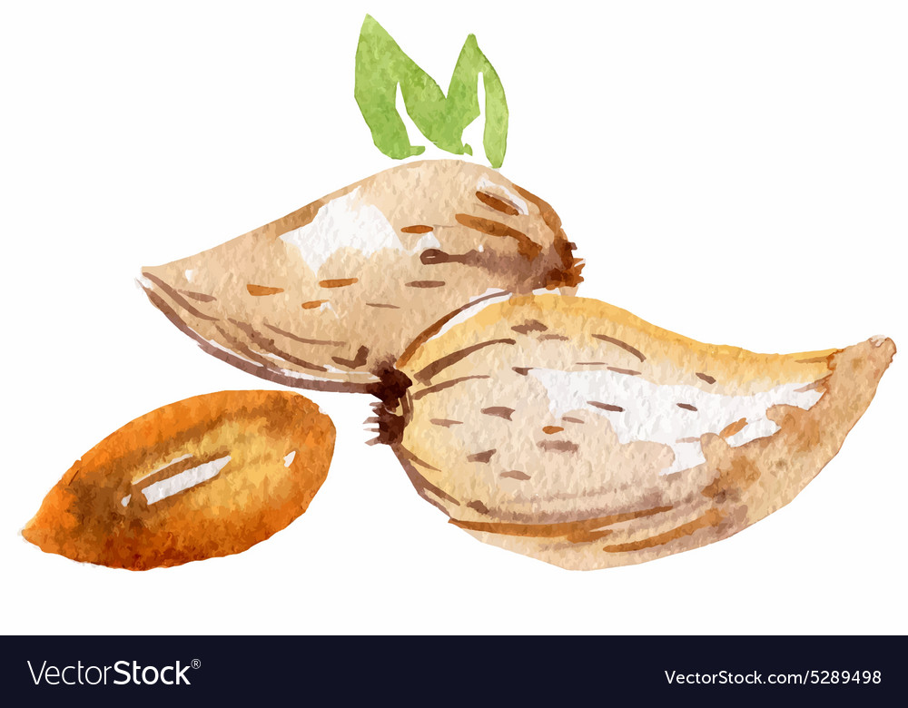 Almonds in watercolor