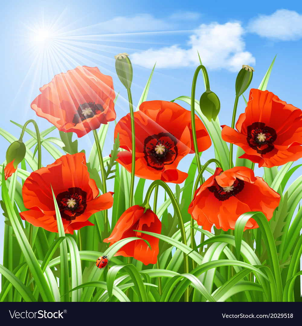 Red poppies in grass