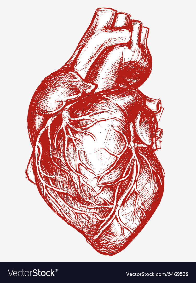 Human Heart Drawing line work vector image
