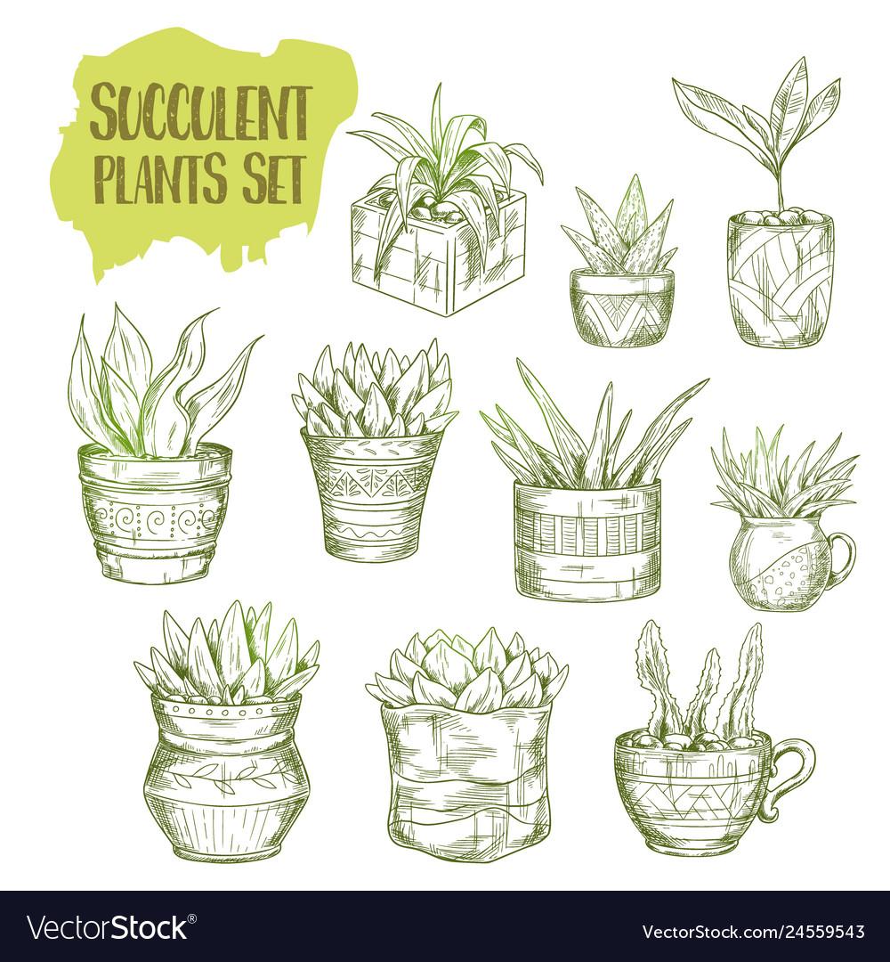 Sketch of succulent plant